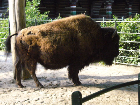Bison im Zoo